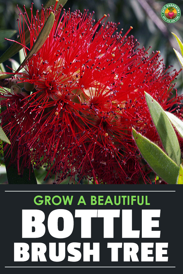You can grow a bottle brush tree at home! Whether you want it to grow as a shrub or a full sized tree, our complete care guide will show you how. It's simple and easy with these tips!