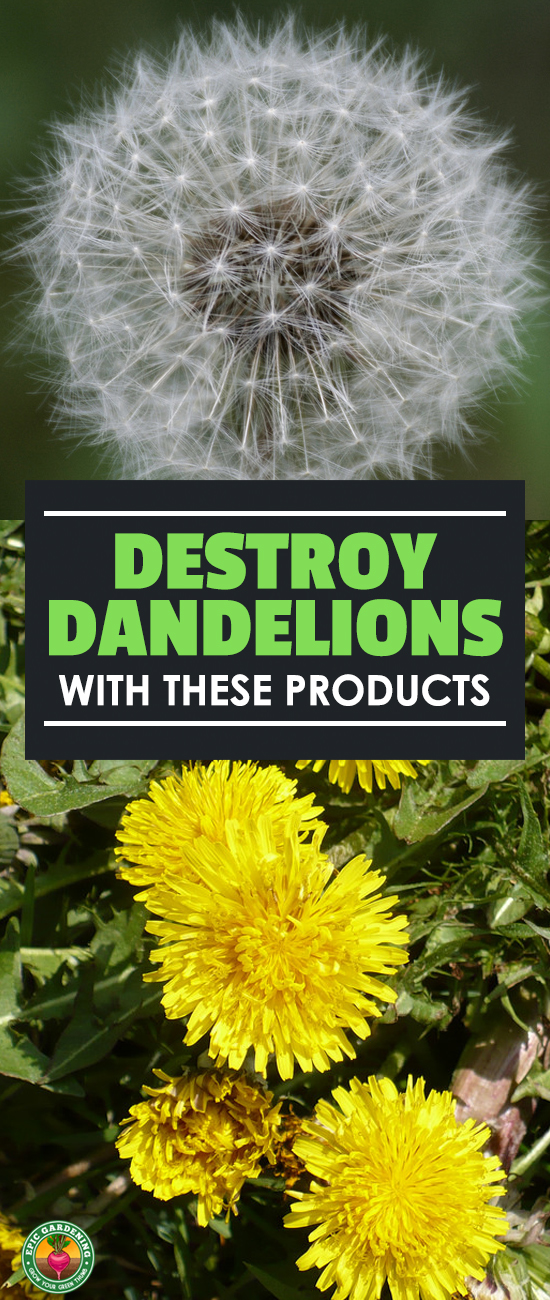 Pick the best dandelion killer to take out your broadleaf weed problems! Our buyer's guide will show you what works and what doesn't.