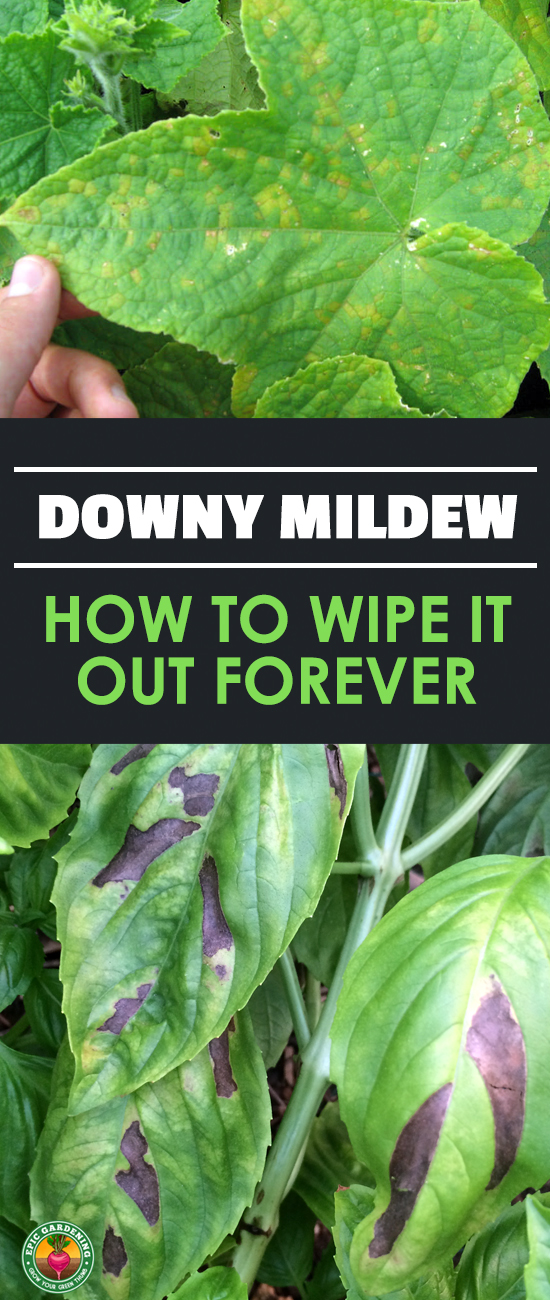 Downy mildew is a common sight in the garden. Our disease guide will explain what it is, how it spreads, and how to prevent it from coming back!
