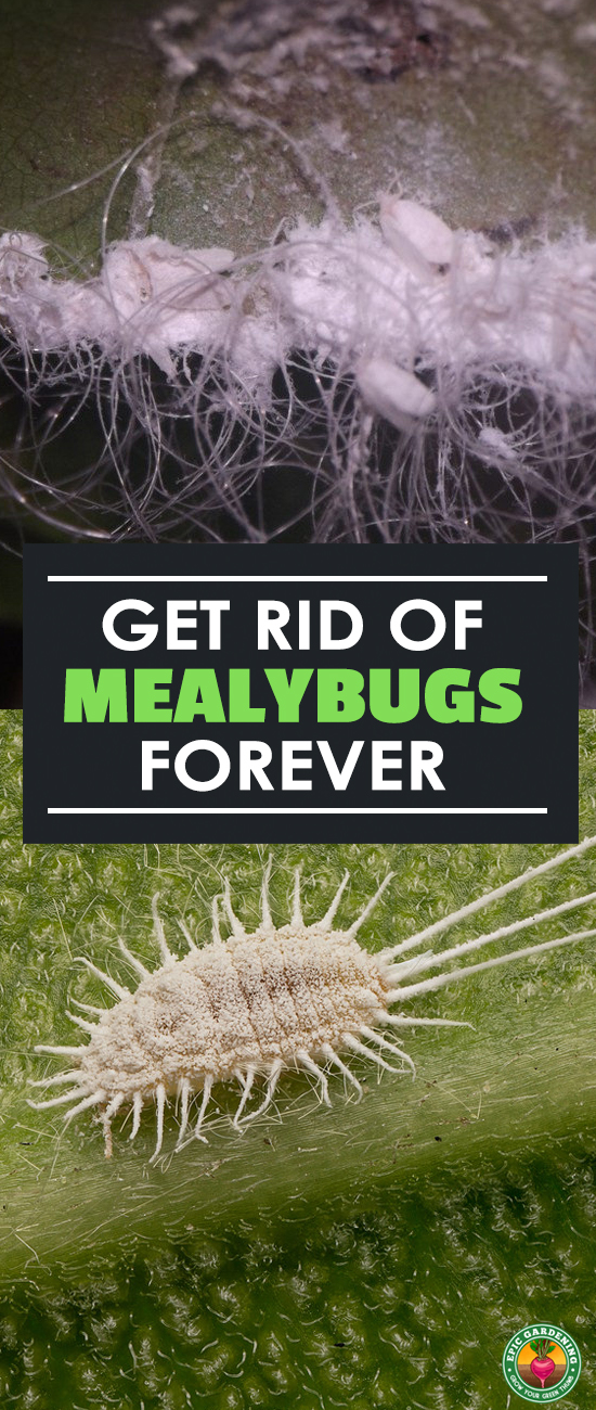 Mealybugs will suck the plant juices out of your trees, garden plants, or crops! Find out how to stop the mealybug menace with our complete pest guide.