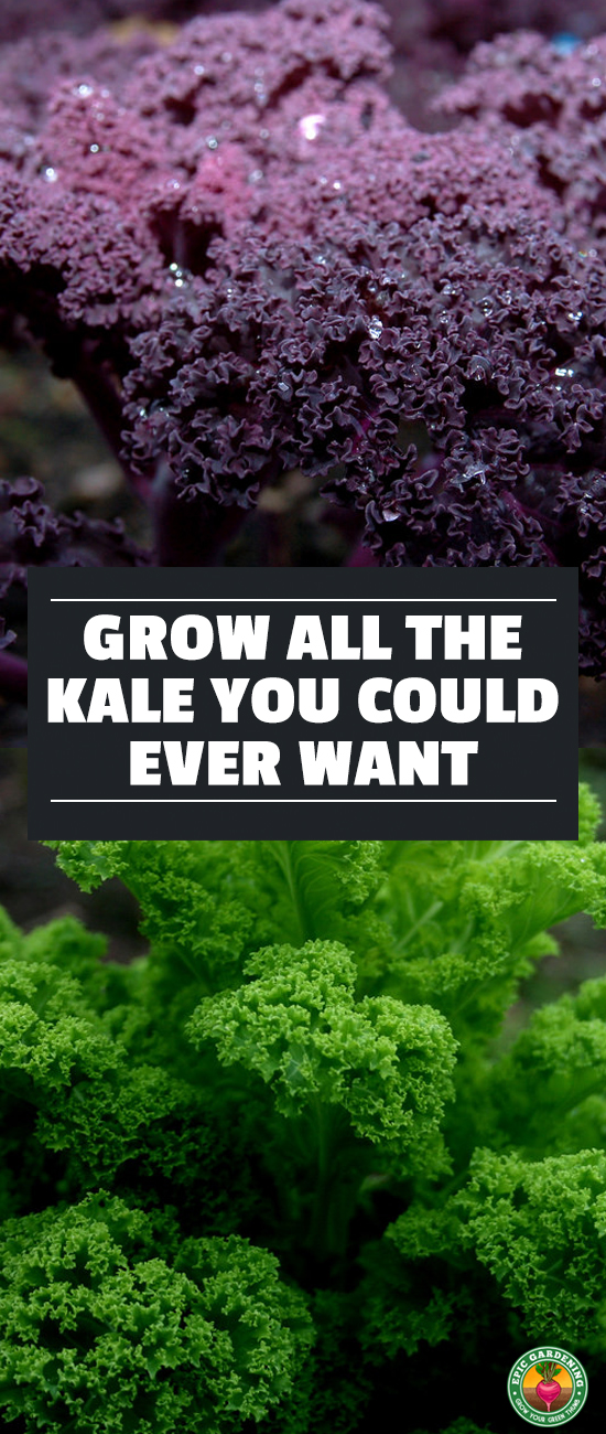 You can grow your own superfood! Growing kale is fun. Learn how in our complete growing guide, along with tips for storage and preservation of your harvest!