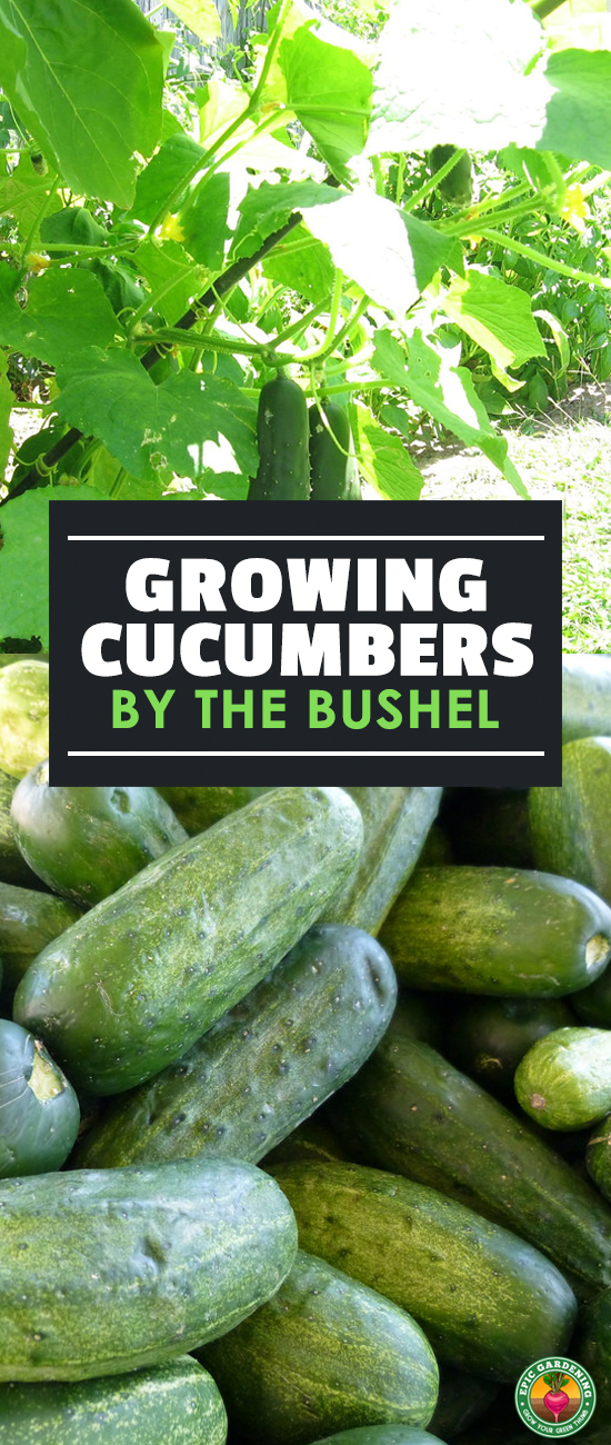 Do you love cucumbers? Growing cucumbers at home is surprisingly easy. Check out our complete growing guide for everything you need to know. You'll grow so many you'll be giving away the extras!