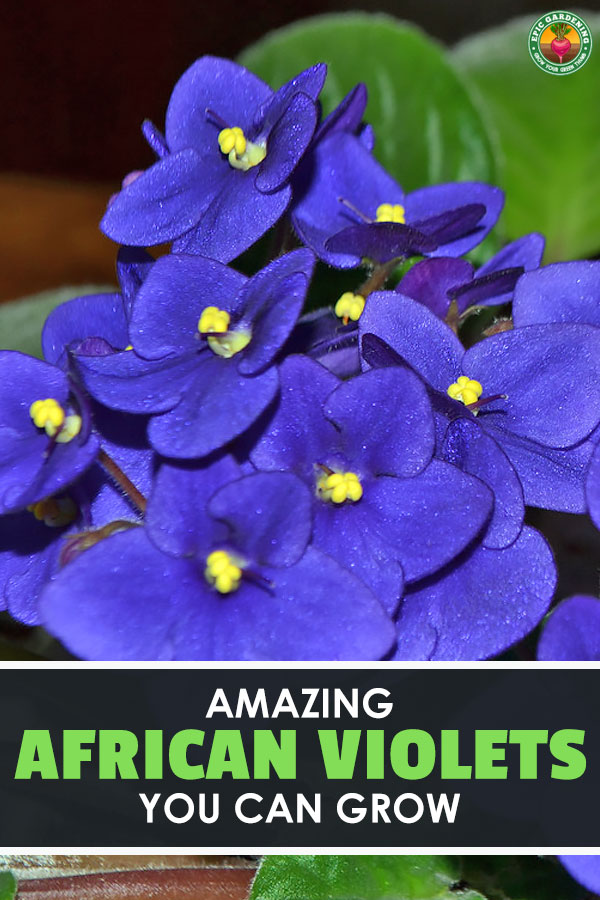 Ever wanted to grow African violets? These stunning Saintpaulia species plants provide great color indoors and out. Our complete growing guide shows you how!
