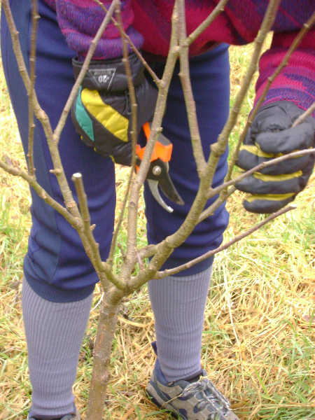Shaping young apple tree
