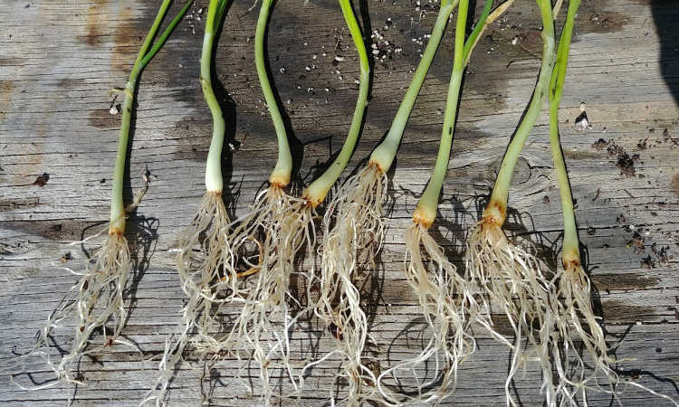 Separated onions ready for planting