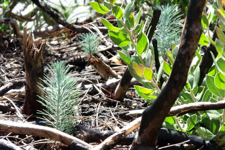 Pine seedlings coming up from the forest floor