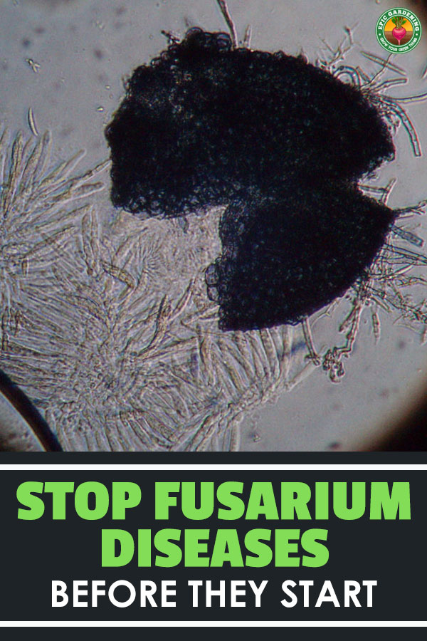 Fusarium wilt, rot, and blight all come from the same fungus! Learn about it and how to handle it in your garden.