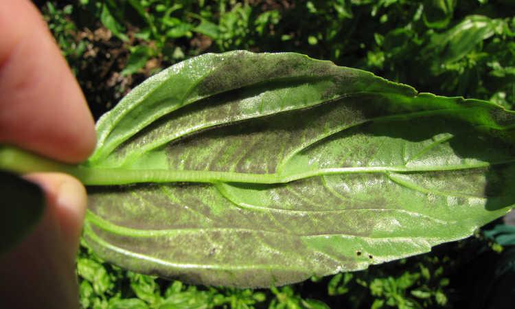 Downy mildew on basil