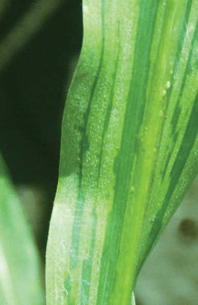 Downy mildew on maize