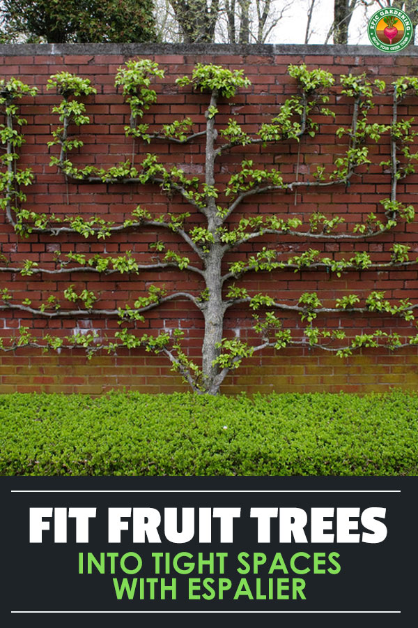 Expand your harvest by planting espalier fruit trees in your yard! These ornate patterned trees are great for small space growing. Our guide shows you the basics!