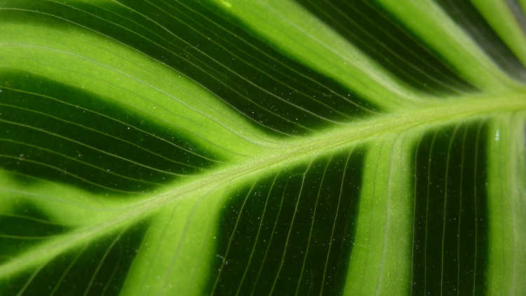 Closeup of calathea zebrina