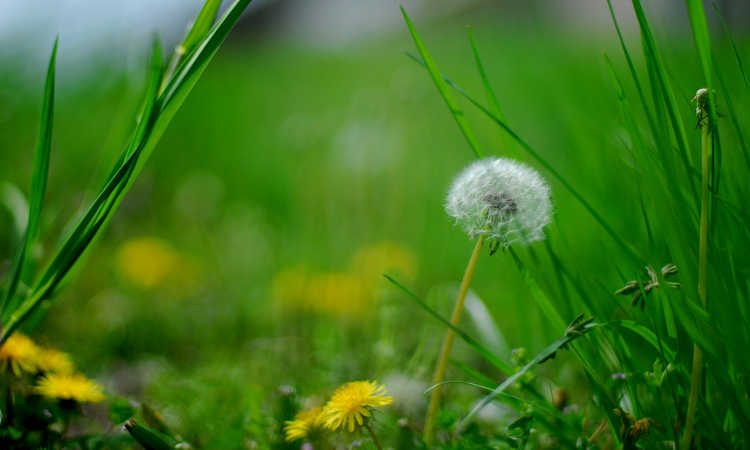 Best Dandelion Killer: Destroying Weeds Quickly And Painlessly