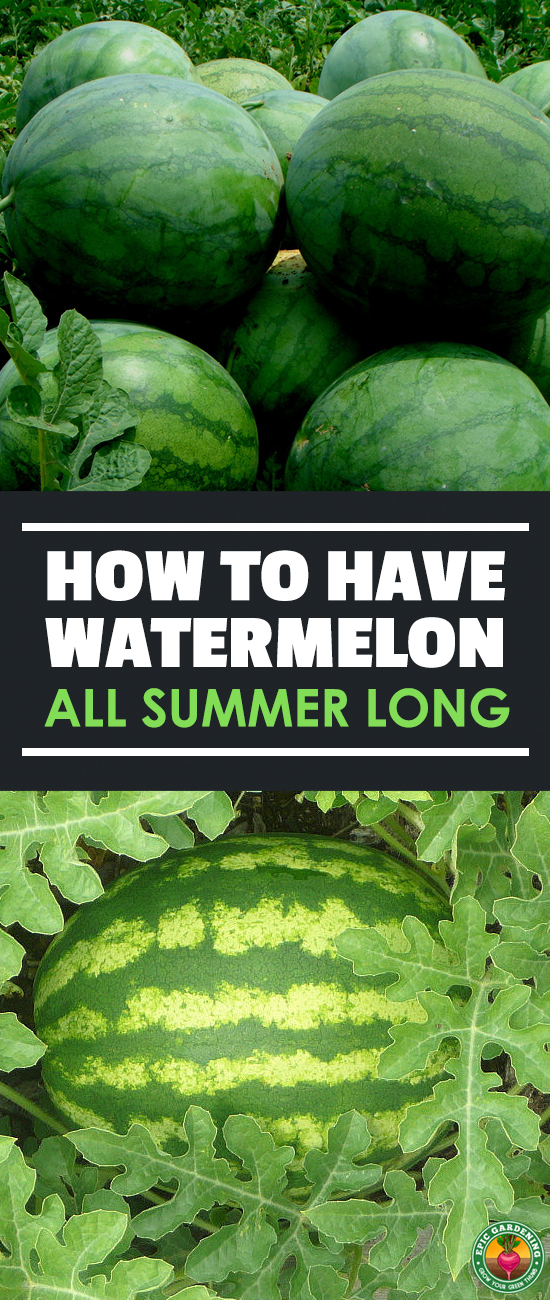 Learn how to grow watermelon the right way with our ultimate guide to this popular summer fruit! We'll show you everything you need to know.