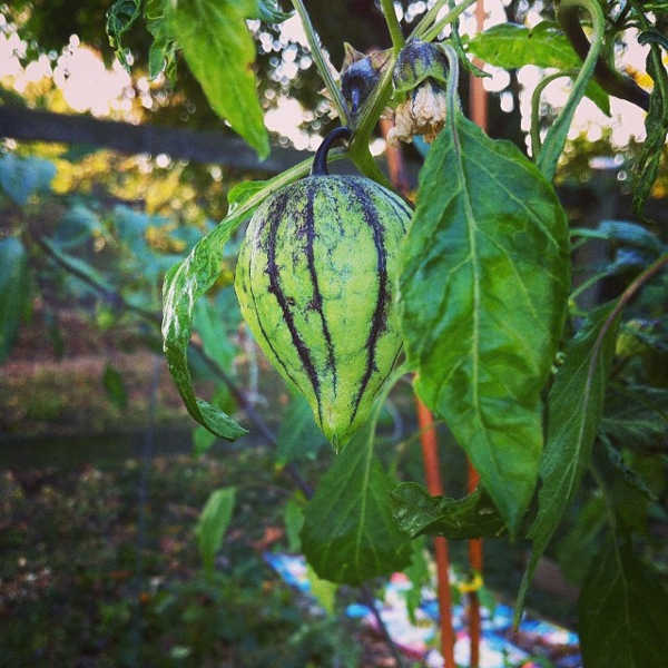 Purple tomatillo on plant