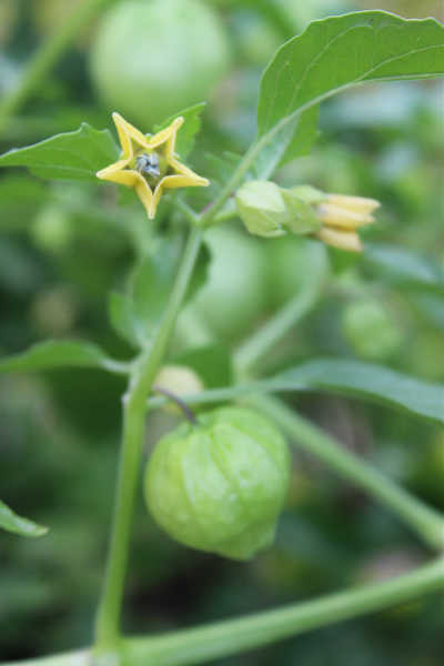 Tomatillo flowers and husk
