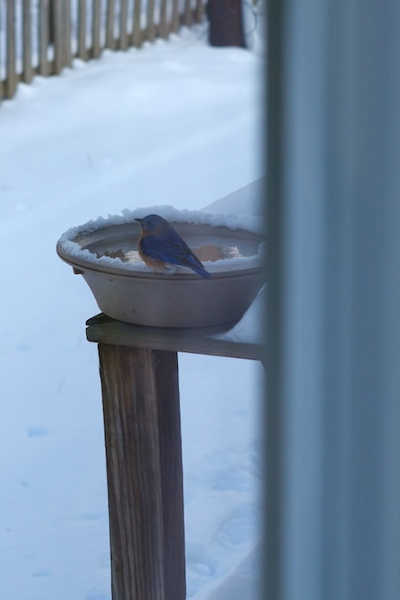 Bird relaxing on heated bird bath