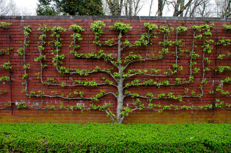 Candelabra pattern espaliered tree