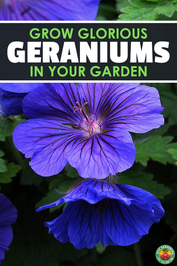 Do you love geraniums? So do I! Learn everything you\'ll need to know to grow these beautiful and fragrant flowers in your garden with this guide!
