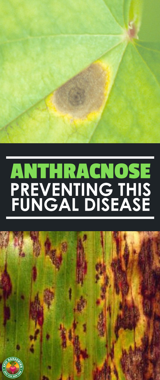 Anthracnose, one of the leading causes of leaf spot and blight, can be a major problem in your garden. Learn how to prevent and treat this disease!