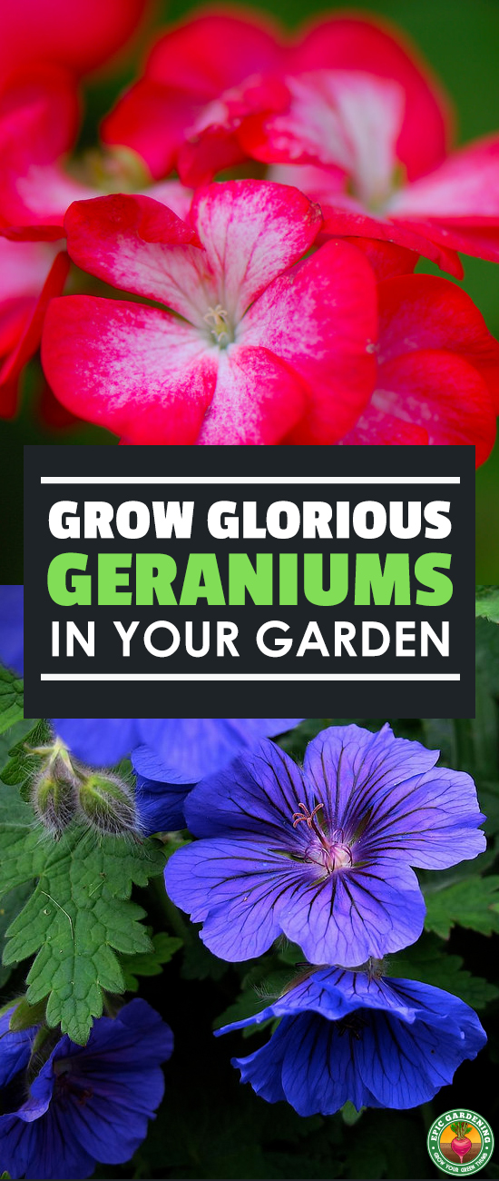 Do you love geraniums? So do I! Learn everything you'll need to know to grow these beautiful and fragrant flowers in your garden with this guide!