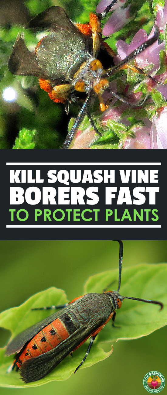 Squash vine borer damage is no joke! Rescue your squash plants and learn everything you need to combat this common North American pest.