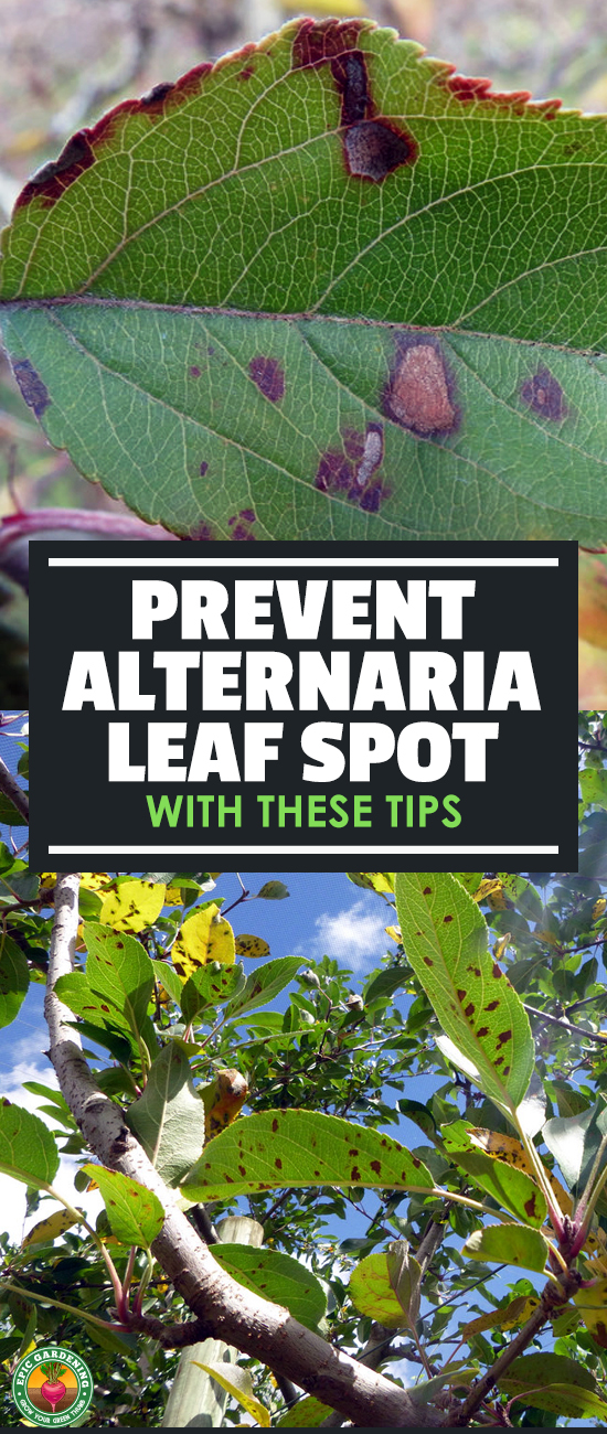 Alternaria leaf spot or other alternaria diseases don't spell immediate doom for your plants. Find out how to treat it in our disease guide!