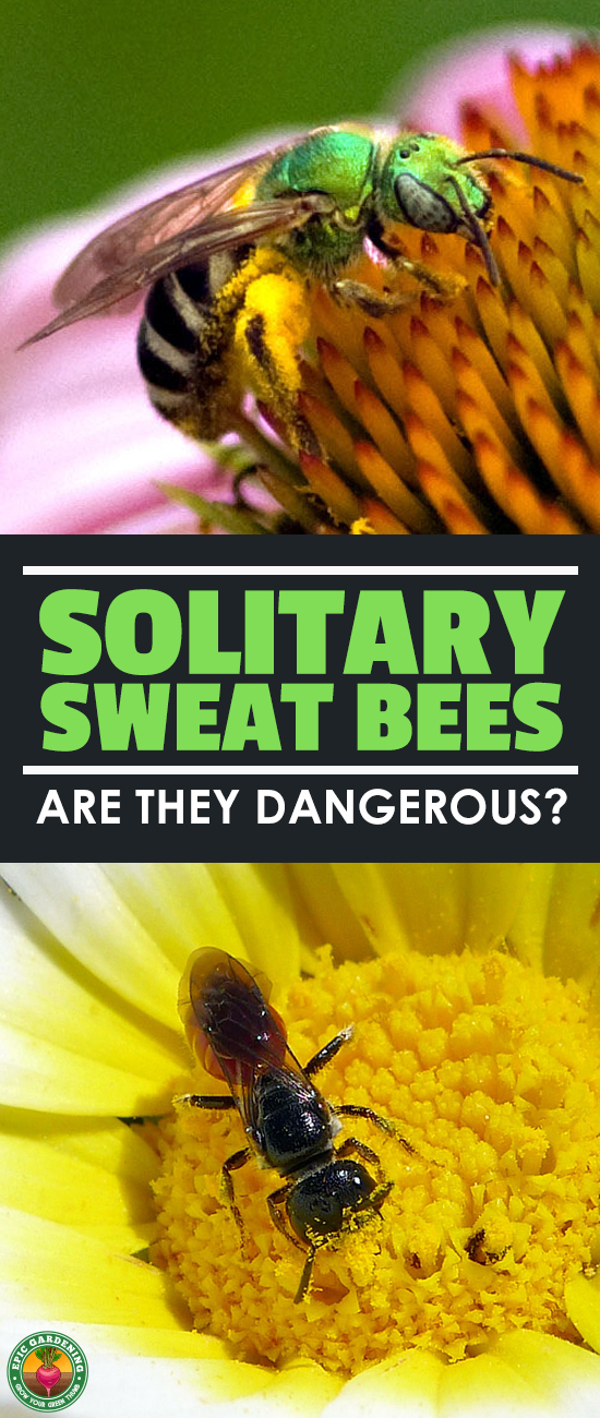 Are sweat bees friends or foes in your garden? Read all about these fascinating wild pollinators and how they differ from honeybees in our complete guide!