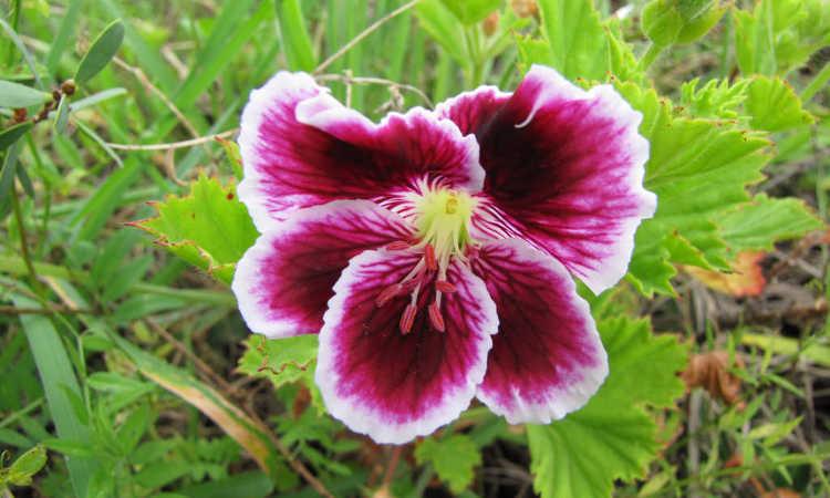 Pelargonium domesticum var Mary Washington