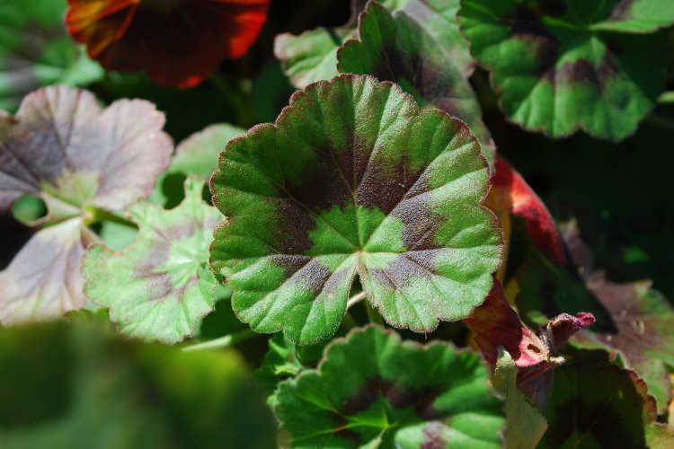 Pelargonium graveolens leaf detail