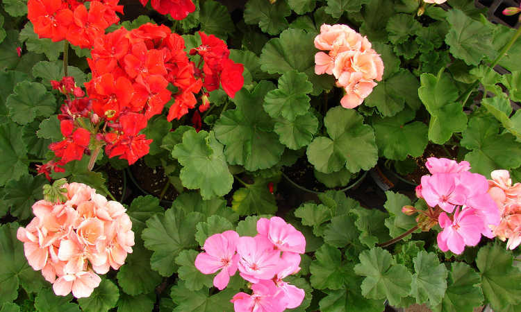 Geraniums Grow These Prolific Colorful Flowers In Your Garden