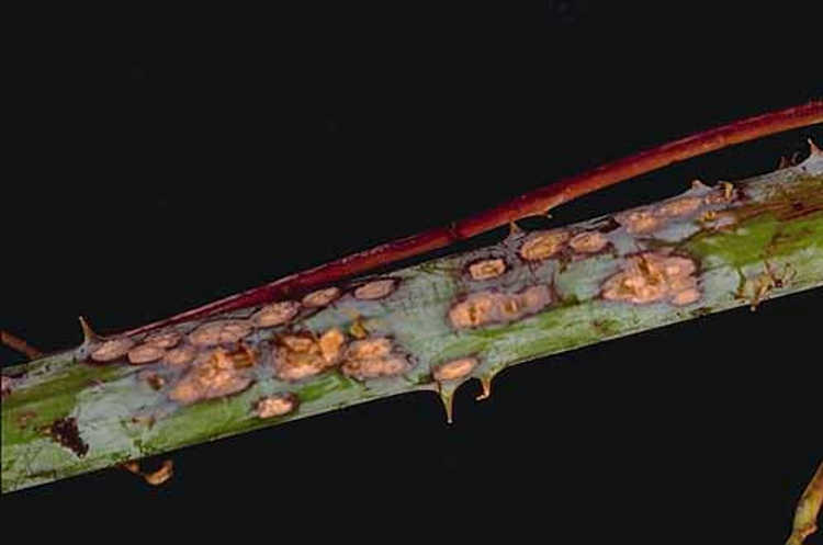 Anthracnose lesions on stem