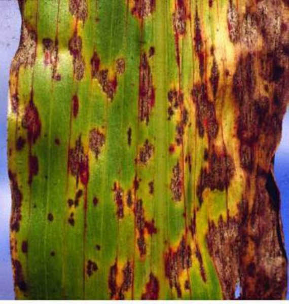 Anthracnose on maize leaf