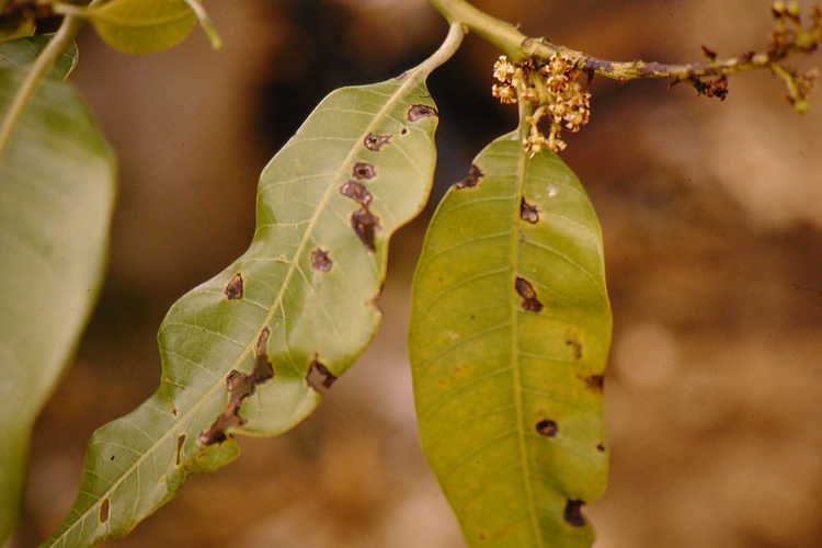 Anthracnose on mango leaf