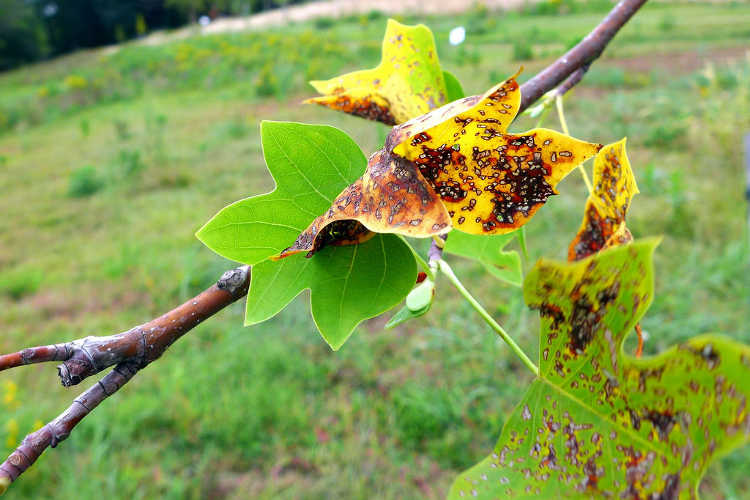 Anthracnose on tulip tree leaf