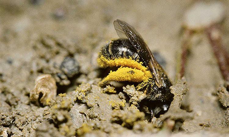 Lasioglossum malarchum digging in soil