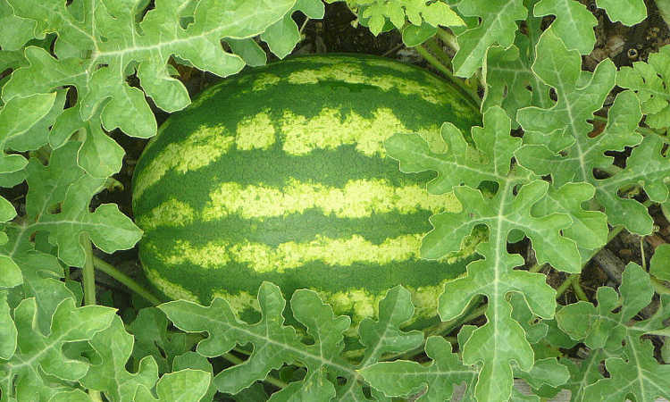 How To Grow Watermelon The Ultimate Guide To Summer S Bounty Epic Gardening