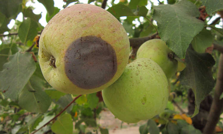Alternaria fruit rot in apple
