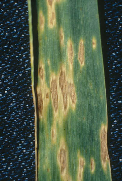 Alternaria leaf blight on wheat
