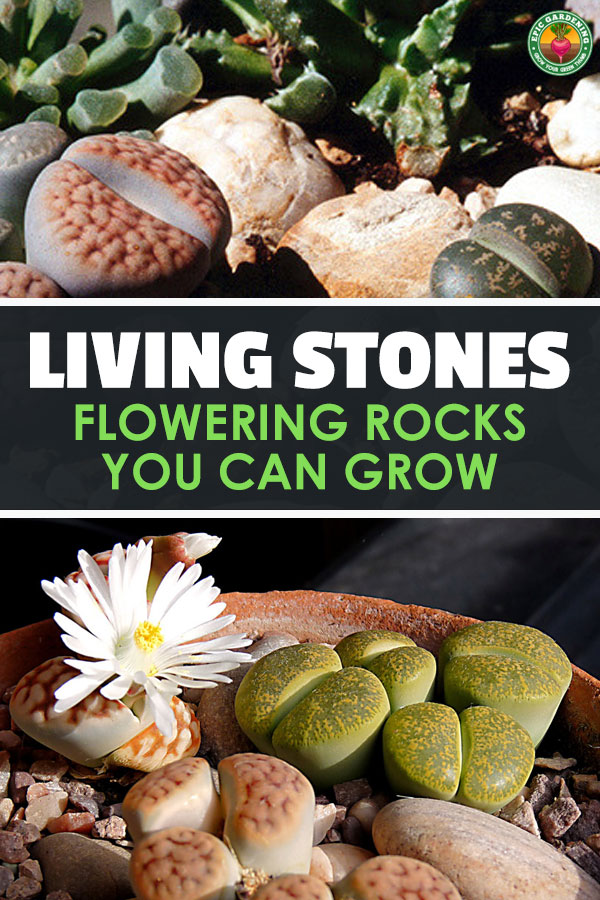 Lithops, more commonly called living stones or pebble plants, are unusual rock-like succulents. Our complete growing guide explains everything you need to know!