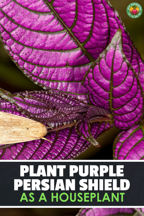 Persian shield is a fantastic tropical plant both as a houseplant and bedding plant. Learn to grow this iridescent purple plant with our growing guide!