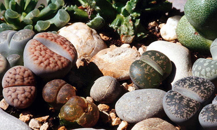 Lithops: How To Grow And Care For Living Stone Plants