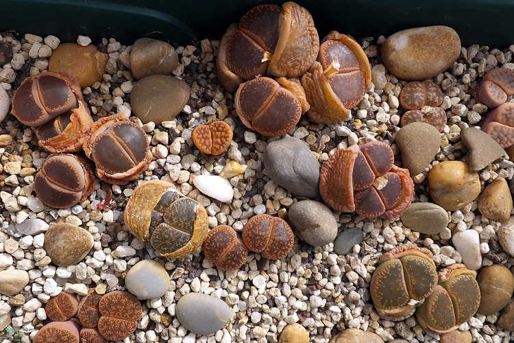 Lithops forming new growth and shedding old