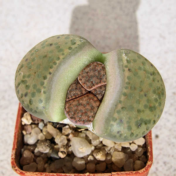 Lithops fulviceps