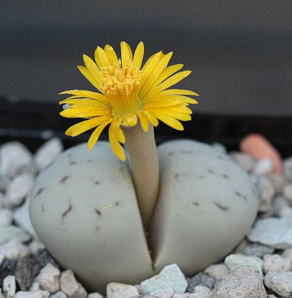 Lithops ruschiorum var ruschiorum