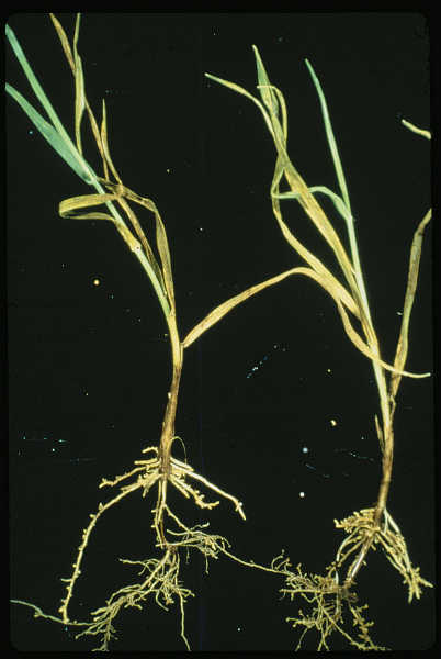 Root knot nematode galls on wheat