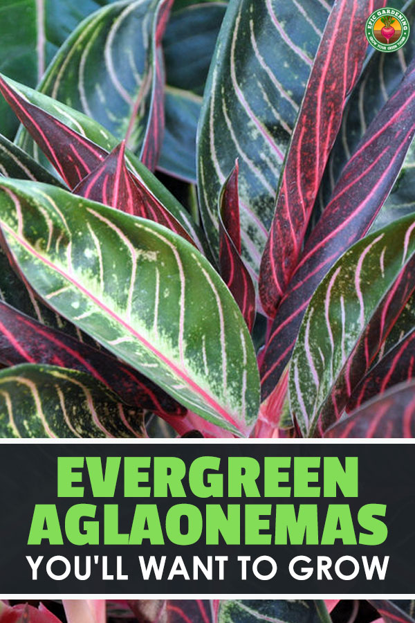 Whether you call it Chinese Evergreen or aglaonema, this \