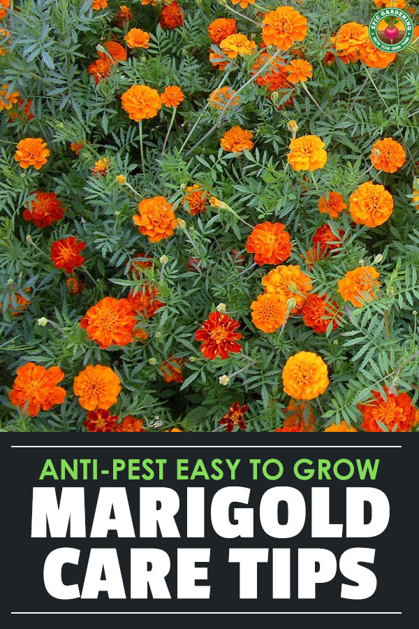 Marigolds are easy-growing, keep pests at bay, are often edible, and are the \