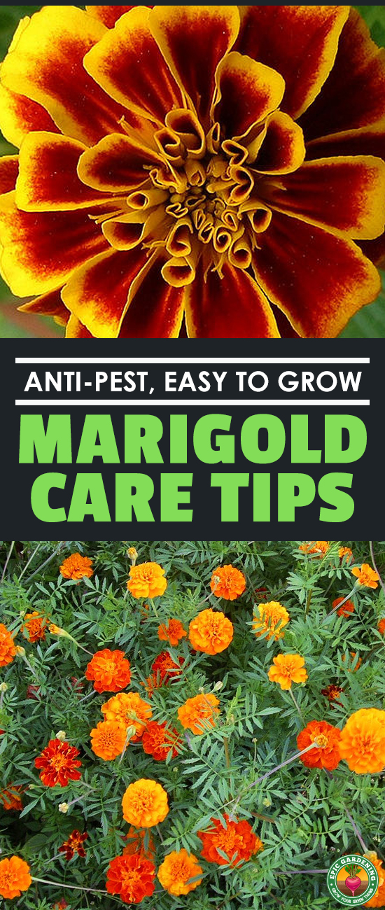 Marigolds are easy-growing, keep pests at bay, are often edible, and are the