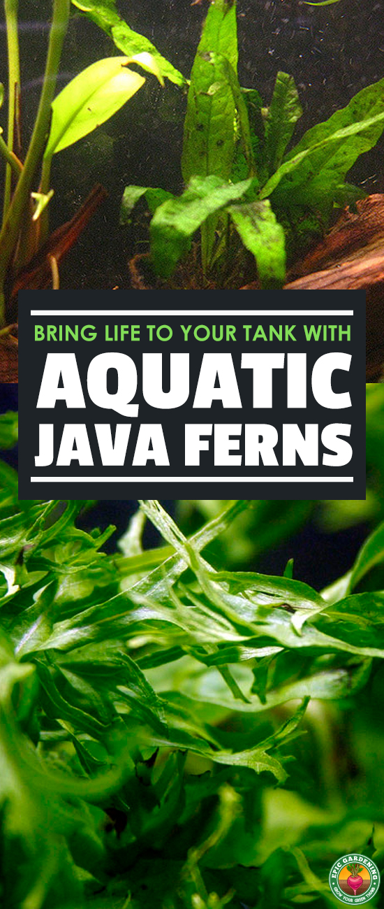 The java fern is a very popular and accessible aquarium plant. Learn how to garden underwater with our complete growing guide!