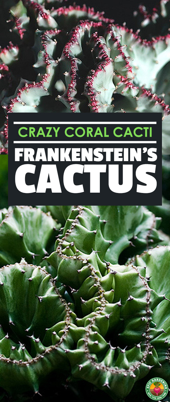 The coral cactus isn't a cactus or made of coral. This Frankenstein-like grafted plant is a strange, stylish succulent! Learn to grow your own here.